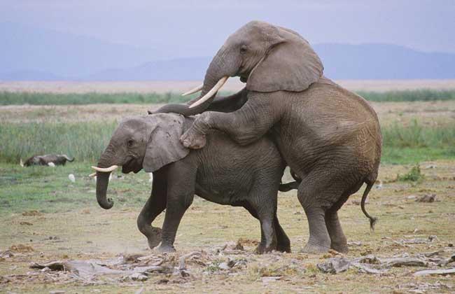 大象交配过程视频