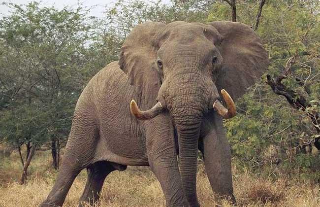 大象是哺乳动物吗