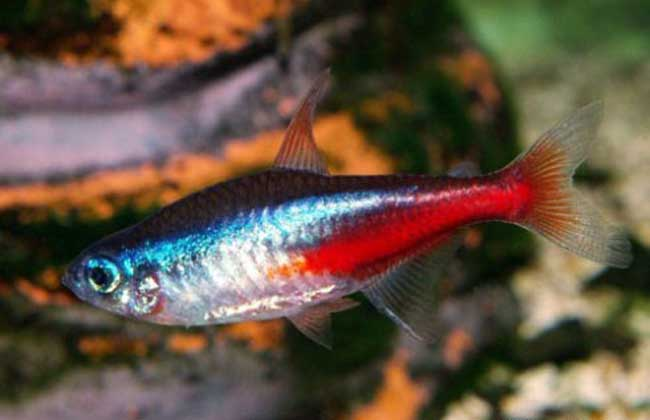 红绿灯鱼怎么养
