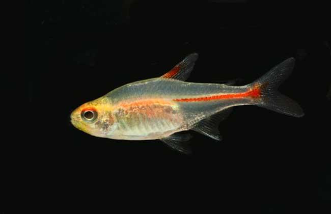 灯鱼和什么鱼混养?