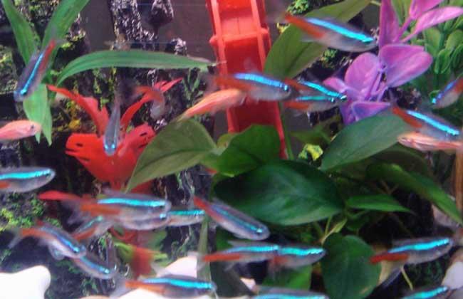 红绿灯鱼怎么繁殖?