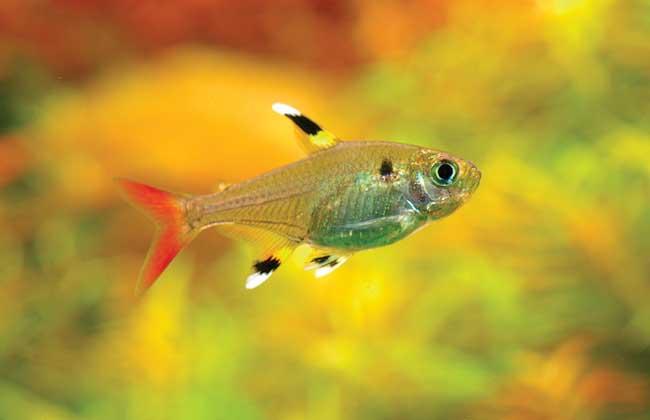 灯鱼是热带鱼吗