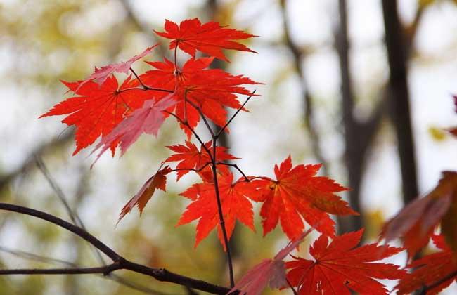 枫叶什么时候变红