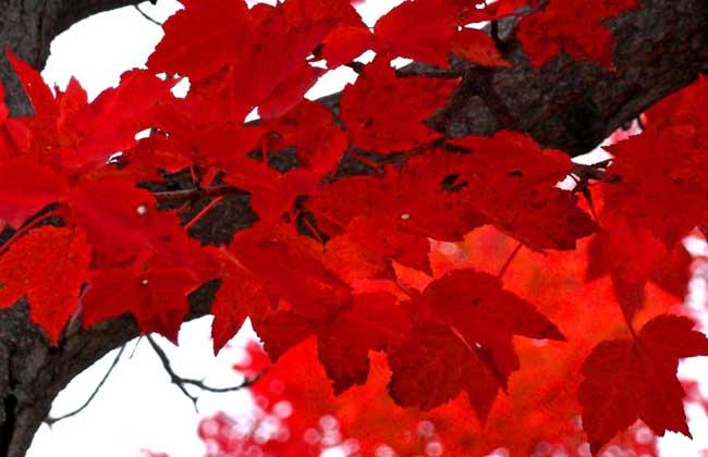 枫叶什么时候变红?