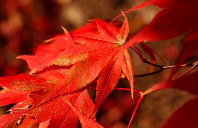 枫树什么时候落叶?