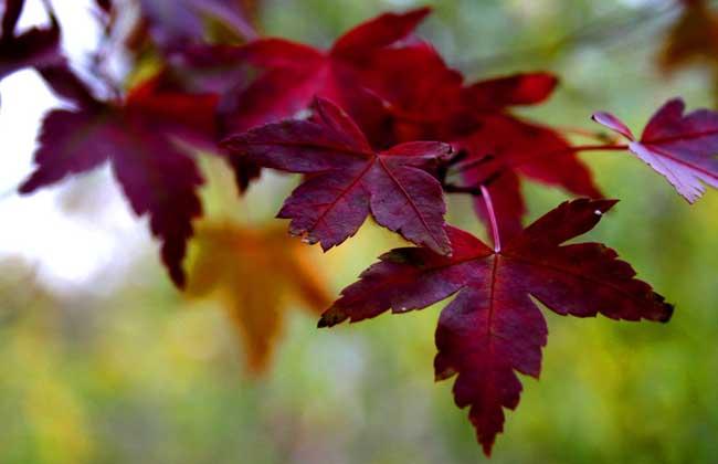 枫树什么时候落叶