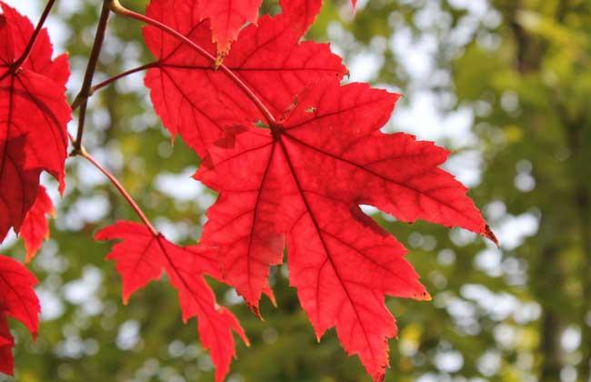 美国红枫扦插技术