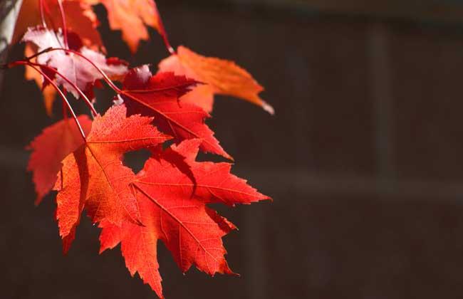 枫树叶为什么会变红?
