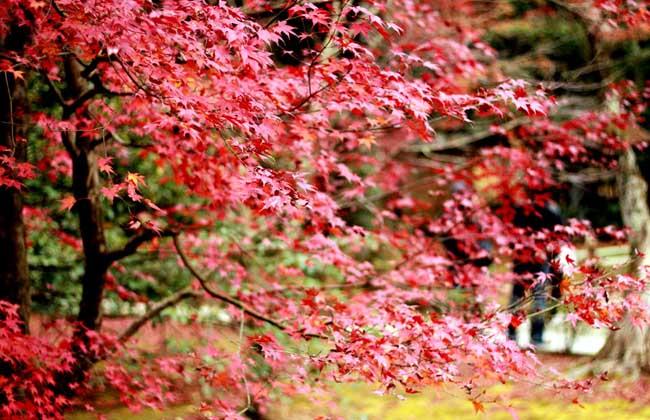 红枫树的繁殖方法