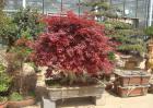 枫树盆景养殖方法