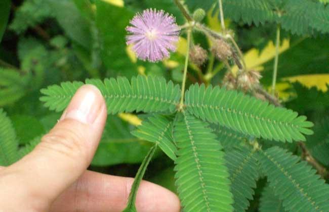 含羞草会开花吗