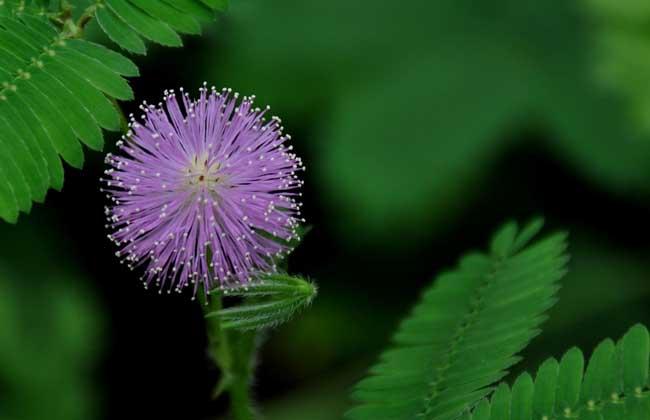 含羞草的花语和传说