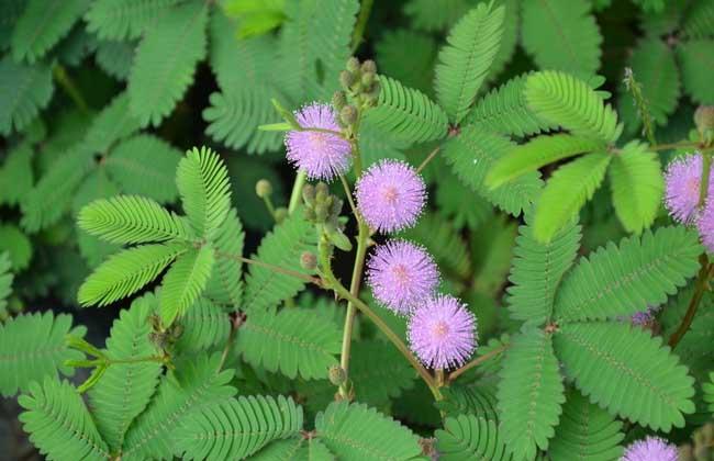 含羞草种类图片