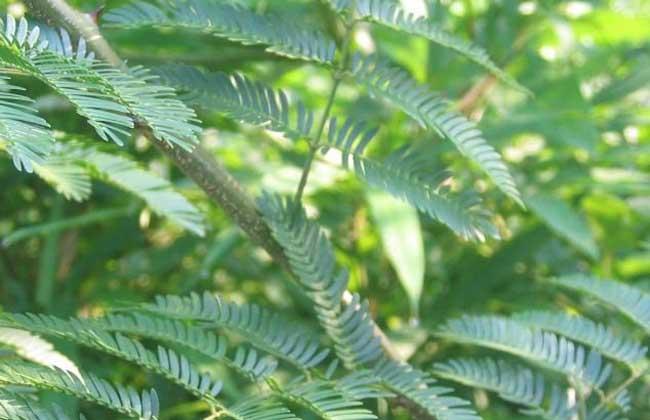 巴西含羞草为豆科含羞草