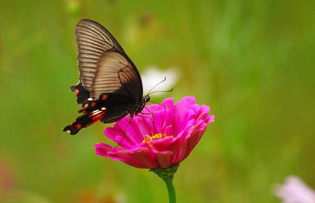 蝴蝶是益虫还是害虫