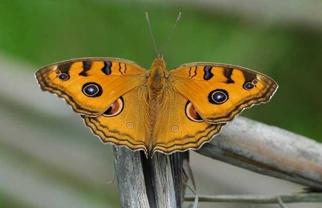 蝴蝶是昆虫吗?