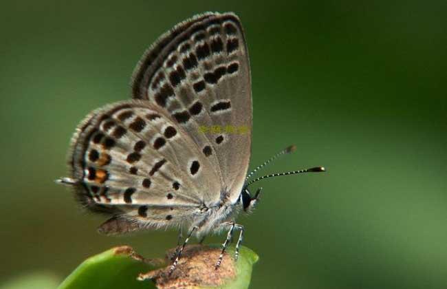 > 正文  灰蝶科是蝴蝶凤蝶总科中的一个科,全世界约有6000种,是蝴蝶的