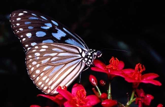 蝴蝶的天敌是什么?