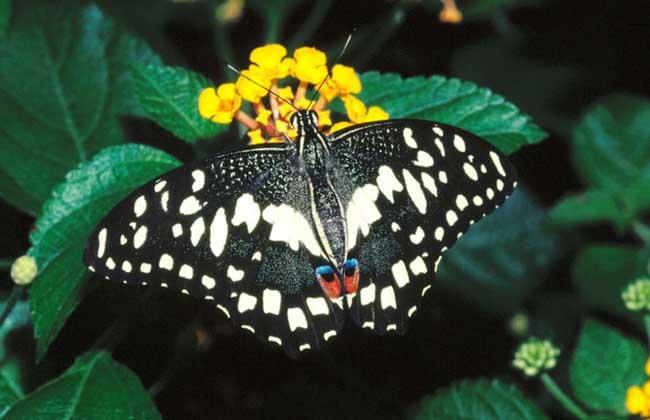 蝴蝶养殖技术