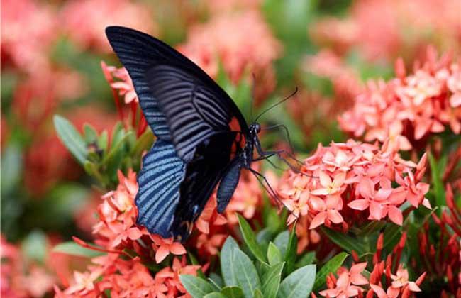 世界上最大的蝴蝶