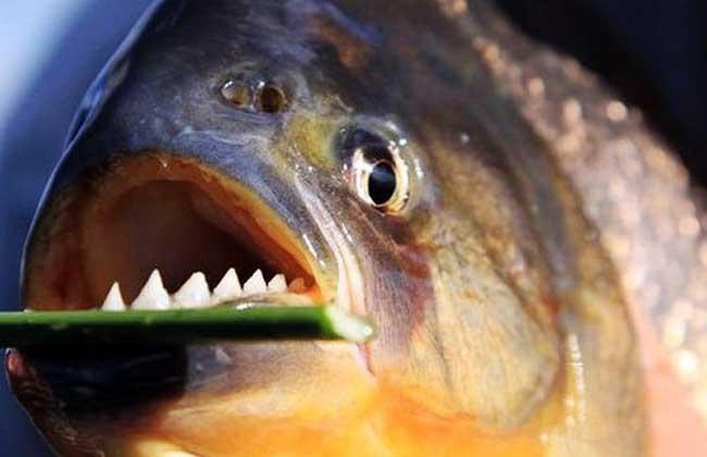 巨型水虎鱼是什么