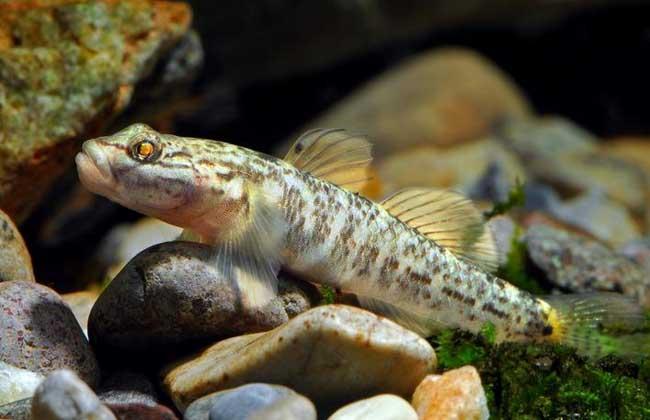 虾虎鱼吃什么食物