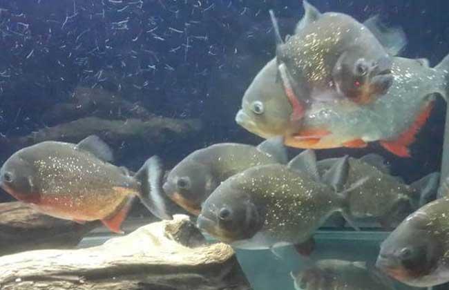 红腹水虎鱼怎么养?