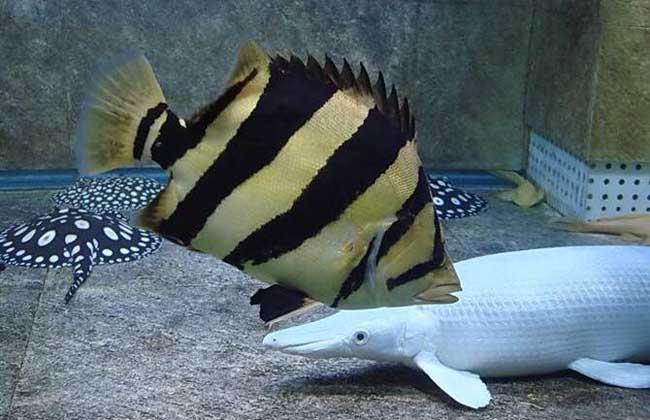 泰国虎鱼怎么养?