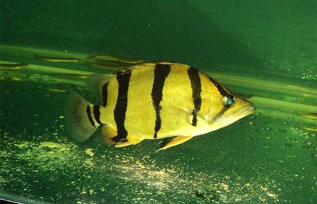 虎鱼和什么鱼混养