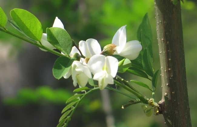槐树花怎么吃最好