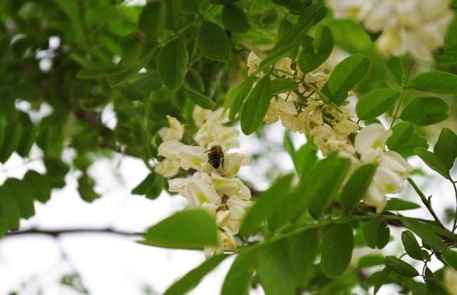 槐树种类图片