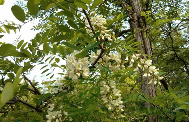 槐花几月开花