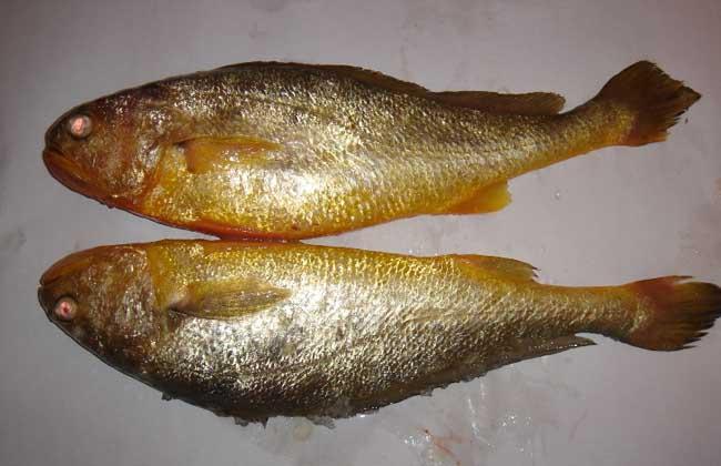 黄花鱼价格多少钱?