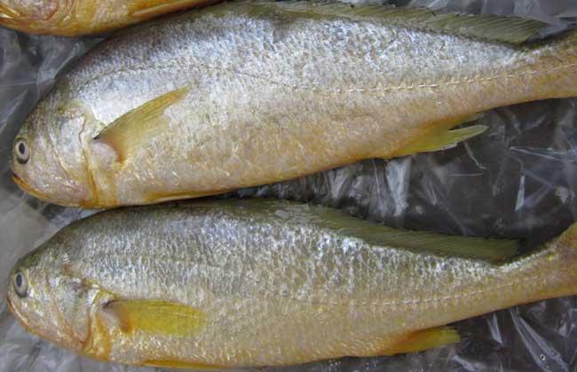 黄花鱼能人工养殖吗