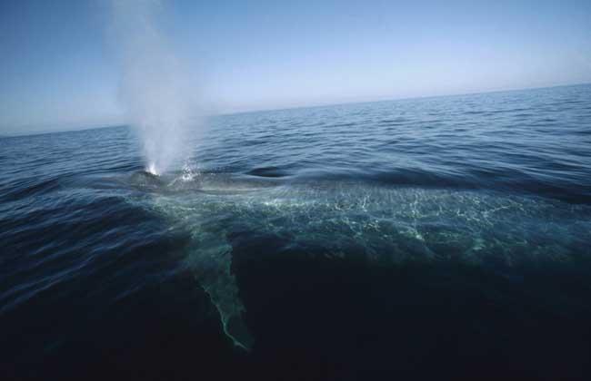 蓝鲸的资料