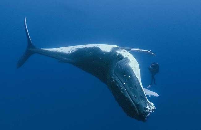 世界上最大的动物是鲸鱼