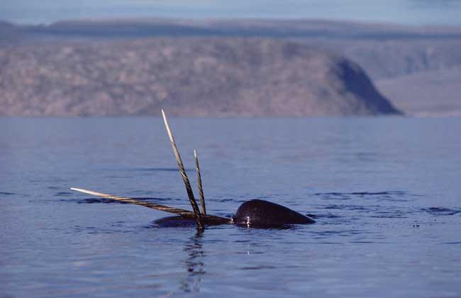独角鲸的资料有哪些?