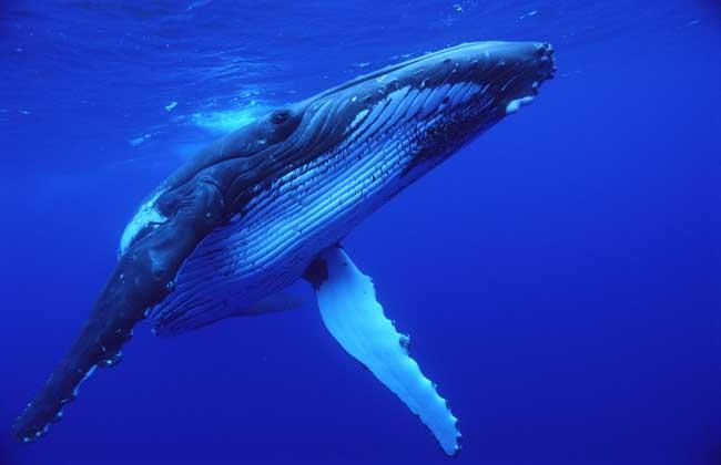 鲸鱼是不是鱼类?