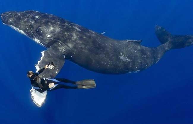 为须鲸科座头鲸属海洋哺乳动物