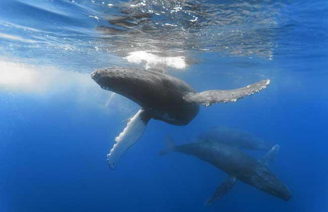 鲸鱼的祖先是什么动物