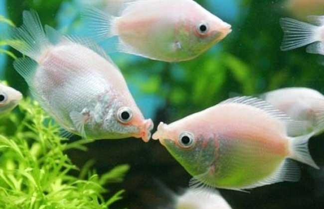 接吻鱼价格多少钱