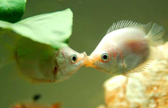 接吻鱼为什么接吻