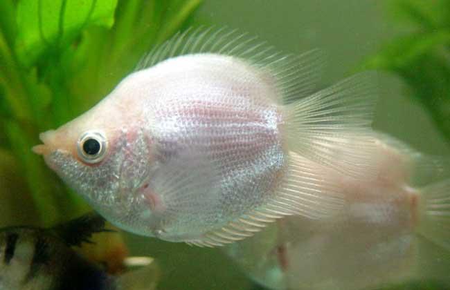 接吻鱼的繁殖方法