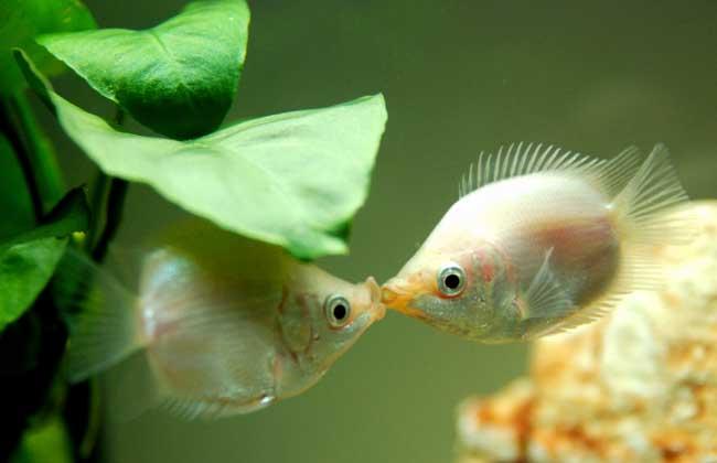 接吻鱼好不好养殖?