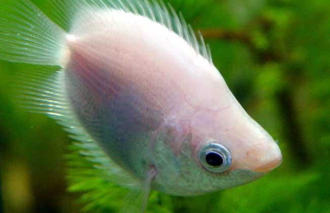接吻鱼吃什么食物