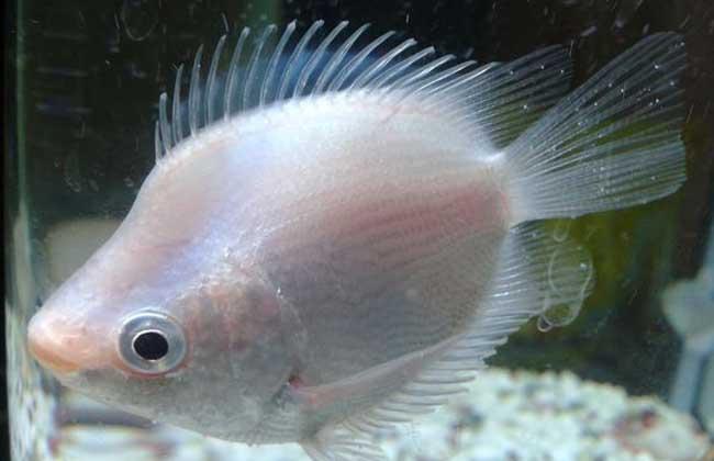 接吻鱼怎么养才好