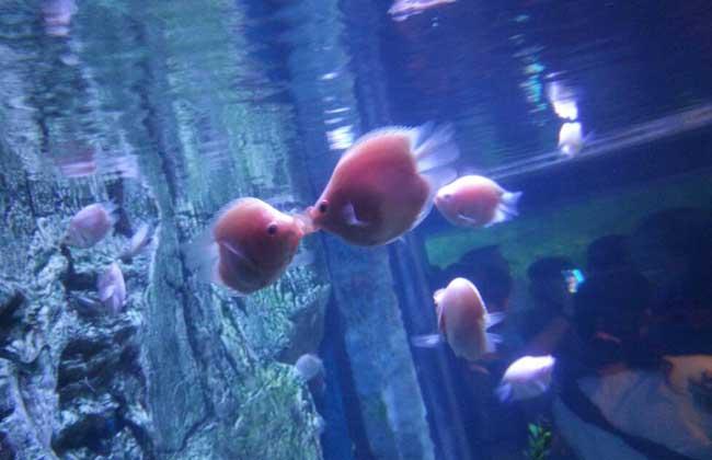 接吻鱼怎么分公母