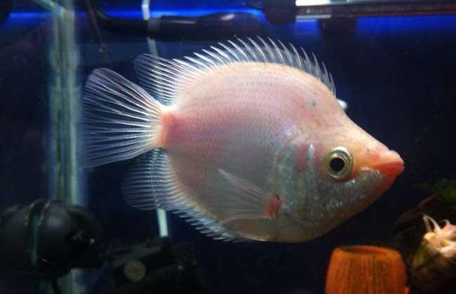 接吻鱼和什么鱼混养?