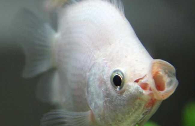 接吻鱼为什么会接吻_接吻鱼为什么会接吻-接吻鱼什么时候会接吻/接吻鱼能和什么鱼 ...