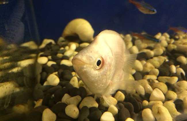 接吻鱼的生活习性